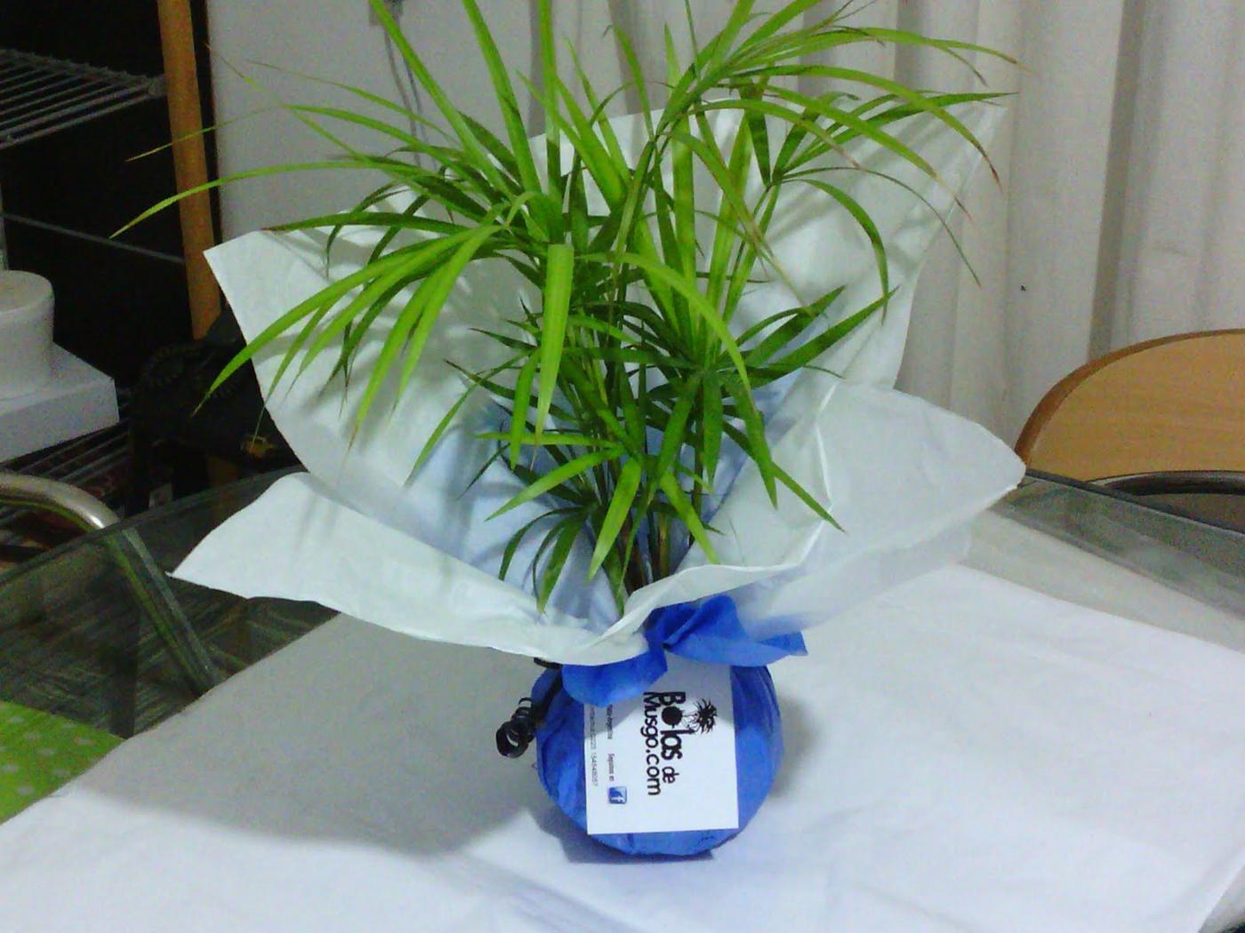Bolas de musgo mar del plata argentina dise o - Plantas ornamentales de interior ...